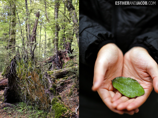 Hike through Beech forest Got to taste a pepper leaf | Dart River Wilderness Safari & Jetboats | Day 6 New Zealand Sweet as South Contiki Tour | A Guide to South Island