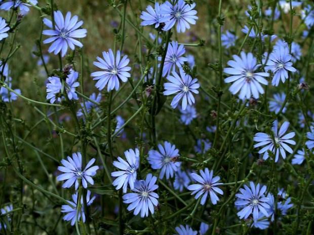 Wild chicory flowers