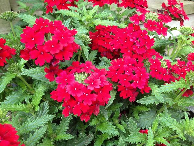 Dark red Verbena flowers