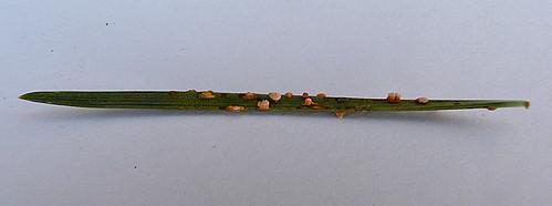 Coleosporium tussilaginis Tophill Low NR, East Yorkshire April 2013