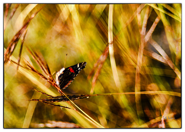 Butterfly - Upper Yurtistan