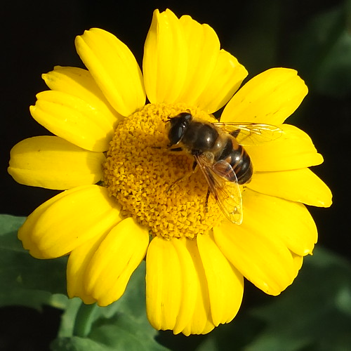Hoverfly on Paris daisy_0003.jpg by Patricia Manhire