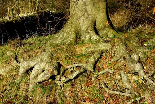 20121202-16_Gnarled Beech Tree Roots by gary.hadden