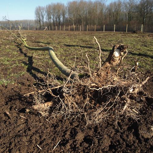 En attente de la replantation