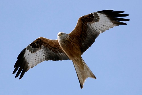 Red Kite by Szczur
