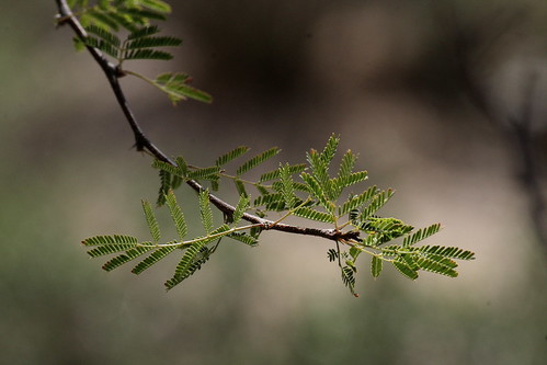 Mesquite New Growth; Oro Valley, AZ [Lou Feltz]