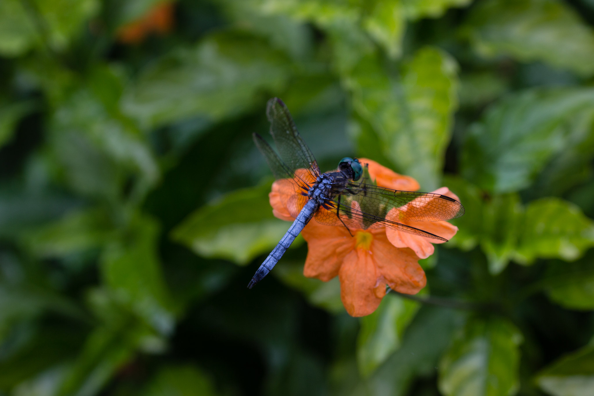 love the contrast between the cantaloupe color and the blue of the dragonfly