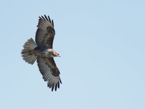 Common Buzzard spring morning