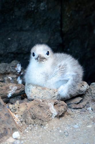 Galapagos Seagull chick