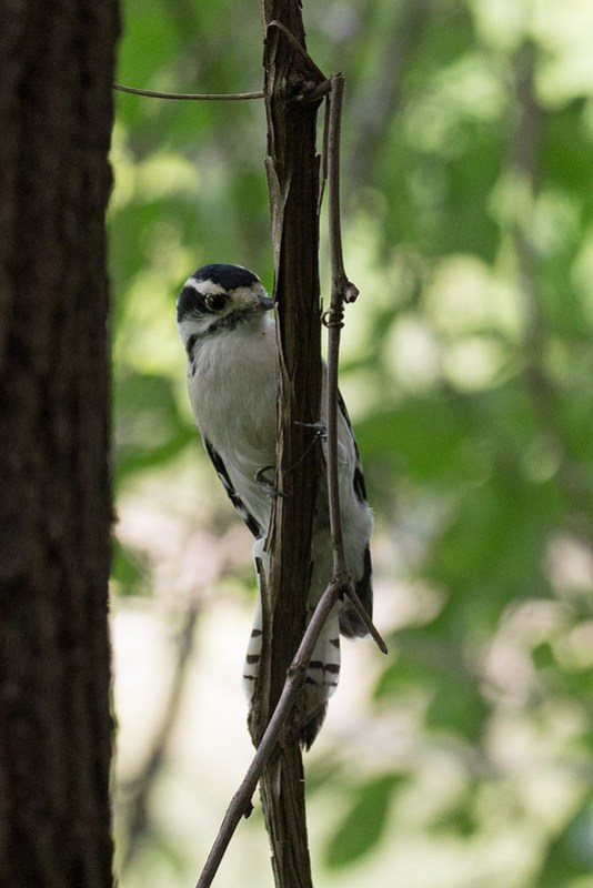 _DSC4105 Downy Woodpecker