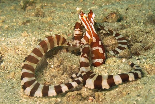 Wonderpus Octopus