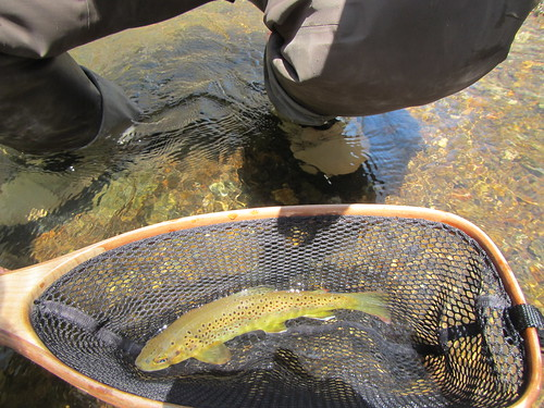 Wild Brown Trout in Blue Ribbon Net