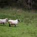 Salt Spring Sheep