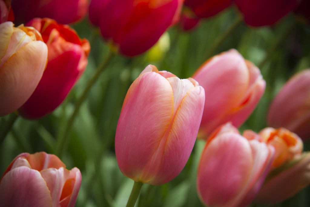 Photo:Tulips, Keukenhof. By:LukePricePhotography