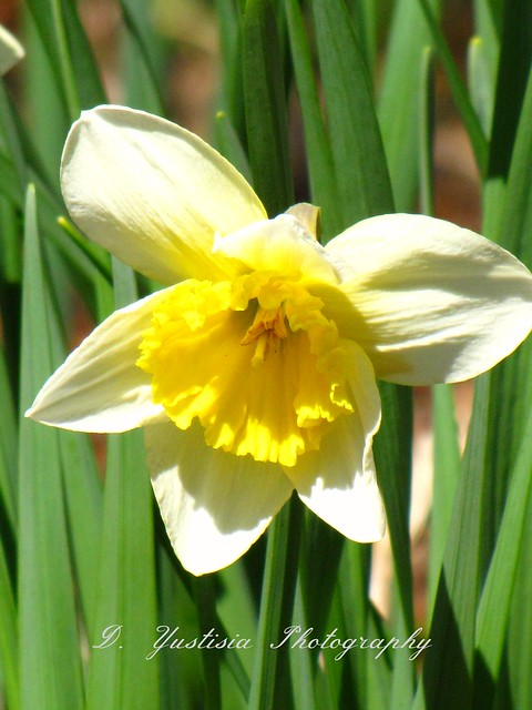 Yellow Daffodil - Narcisscus