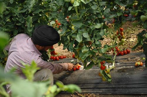 Italia: sfruttamento dei lavoratori migranti nell'agricoltura
