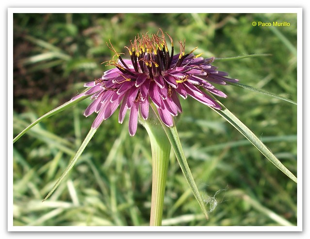 Tragopogon angustifolius Bellardi ex Willd - 1-