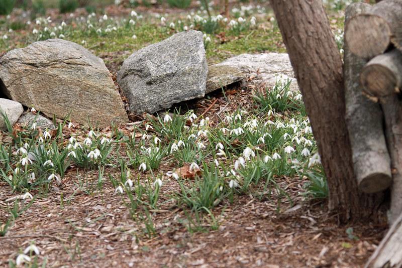 snowdrops, stone wall