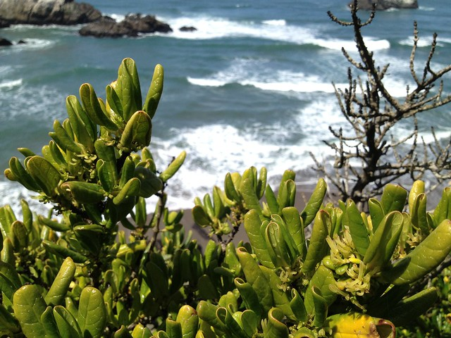 Hardy coastal shrub