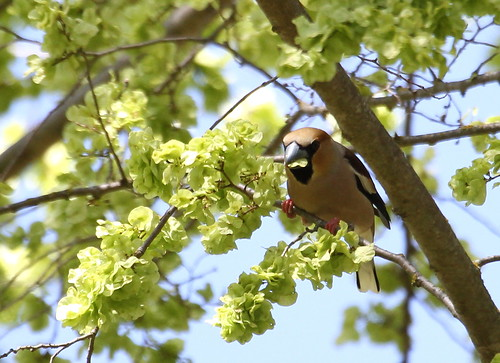 2013_04_13 LUC - Hawfinch (Coccothraustes coccothraustes) 04