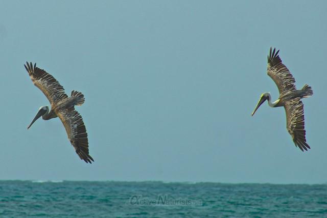 pelican 0003 Sian Kaan beach, Quintana Roo, Mexico