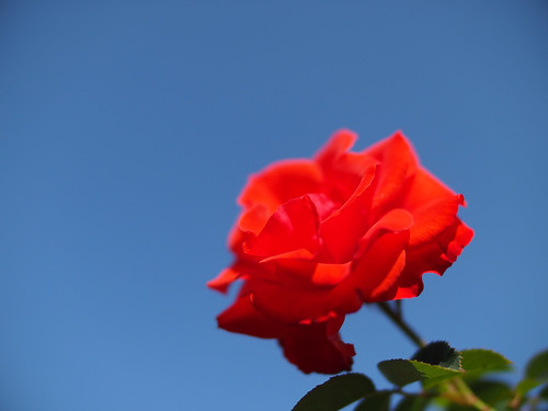 Rose, Olympic Fire, バラ, オリンピック ファイヤー,