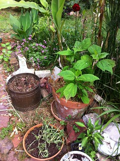 poblano, hibiscus and mulberry sapling