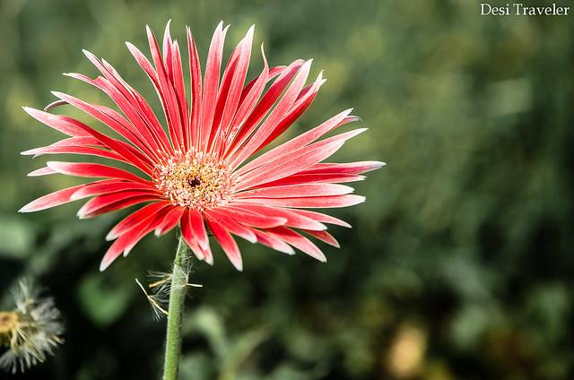 red gerbera flower at botanical garden kondapur hyderabad