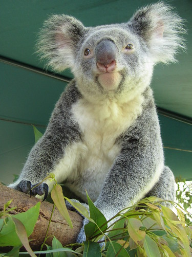 up close with a koala