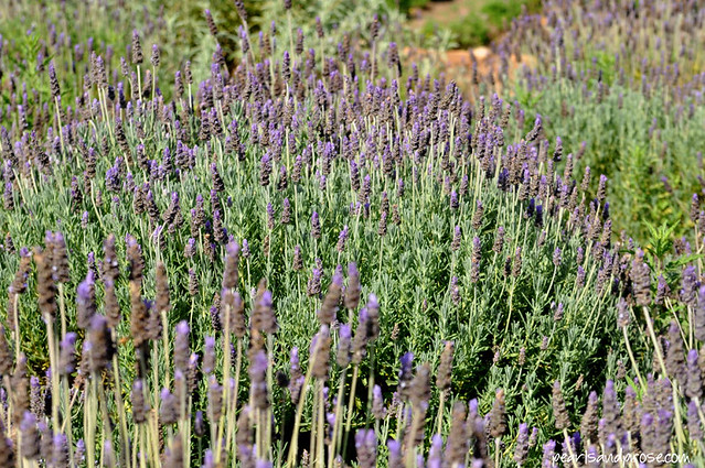 lavender_field_english_web