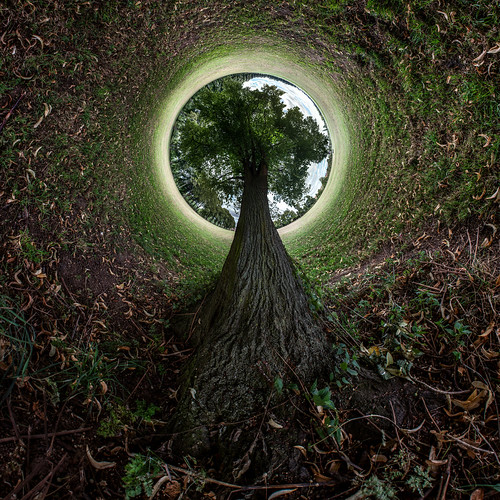 Tree, Pitchcroft