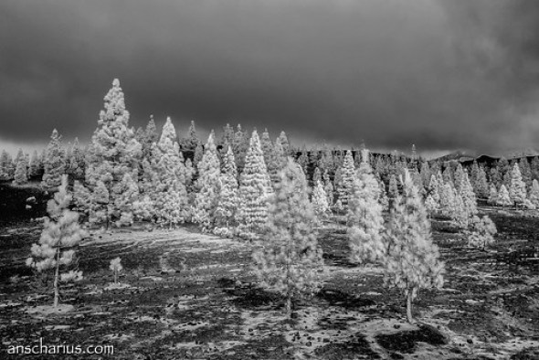 X-Mas Trees - Nikon 1 V1 - Infrared 700nm & 6,7-13mm