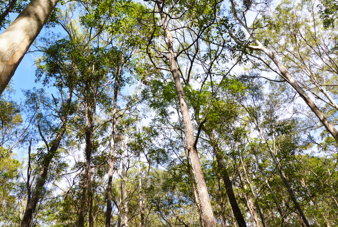 Mount Coot-tha, Brisbane, Australia, trees, forest, photography