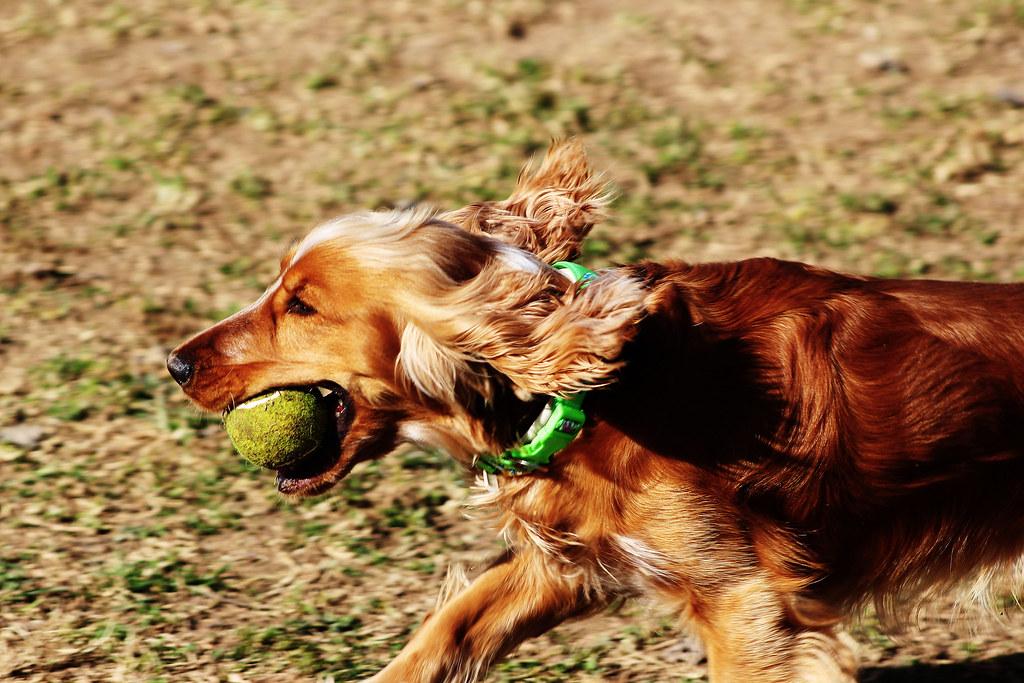 Foto gratis de un perro cocker corriendo con una pelota en la boca