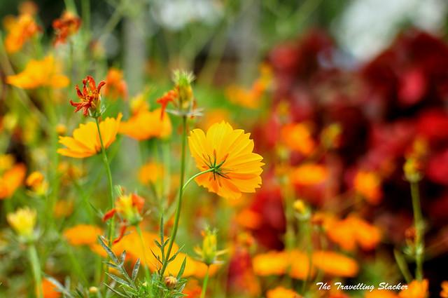 Mawlynnong Cosmos Flowers