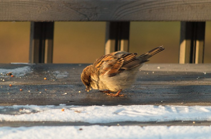 Fat Bird Eating