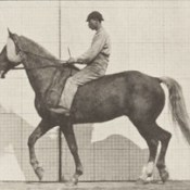 Horse Buckskin walking, lame right front foot, with rider (rbm-QP301M8-1887-654a~3).