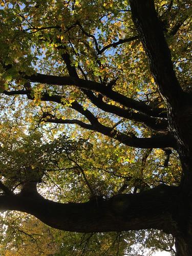 Light through the oak leaves