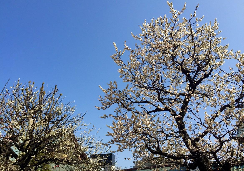 Yushima Tenjin Haya-zakura
