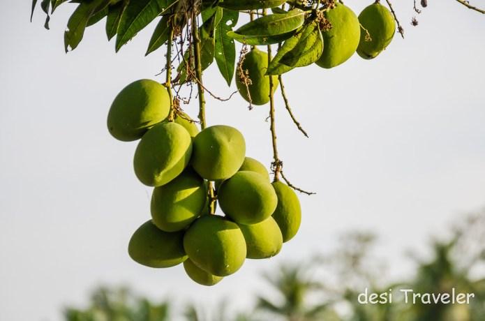 Raw Mangoes on tree
