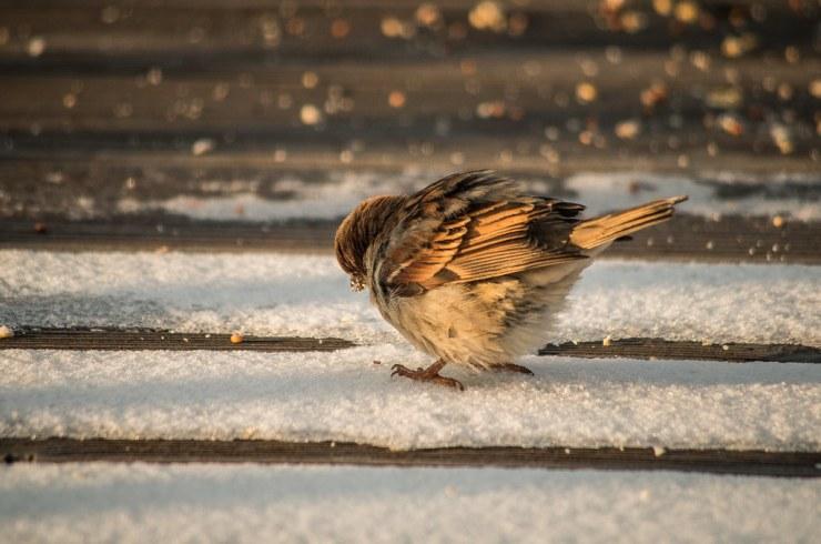 Fat Bird Eating