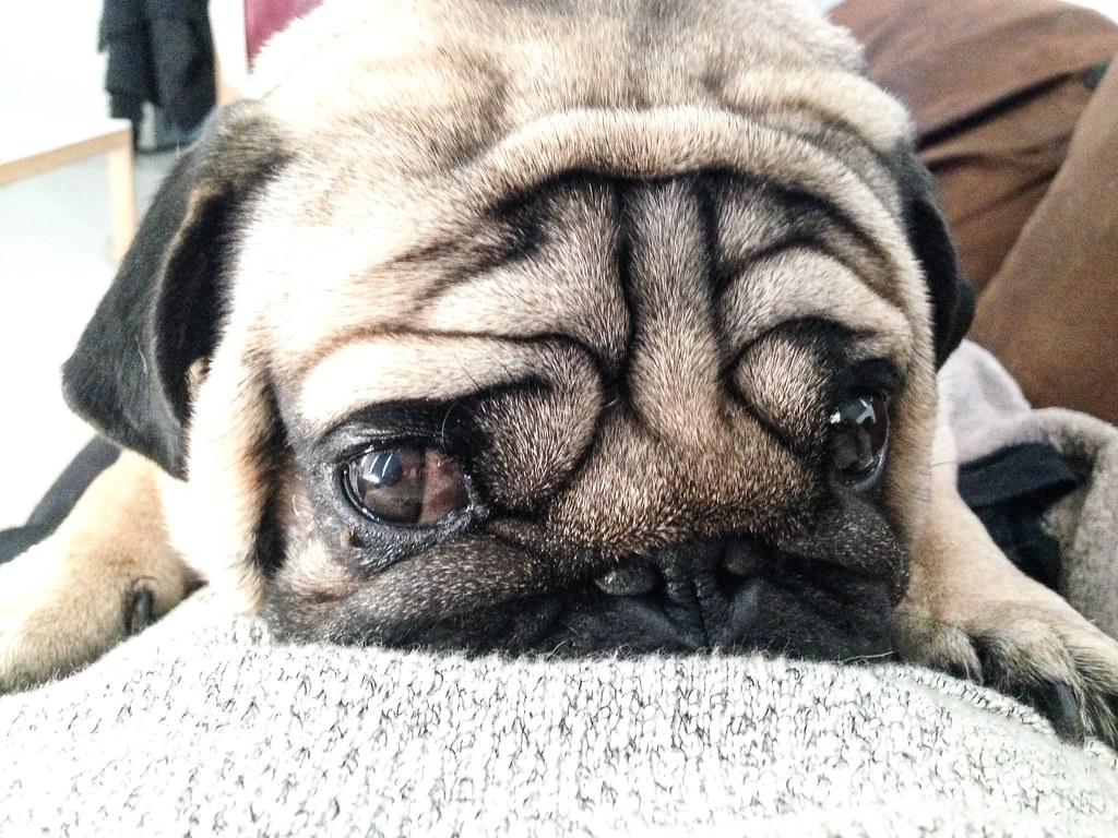Foto gratis de un perro carlino sobre una manta