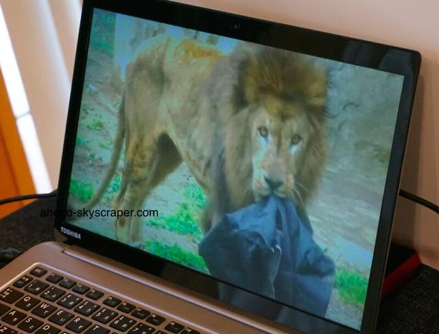 ライオンとジーンズ
