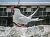 Arctic Tern close-up (3)