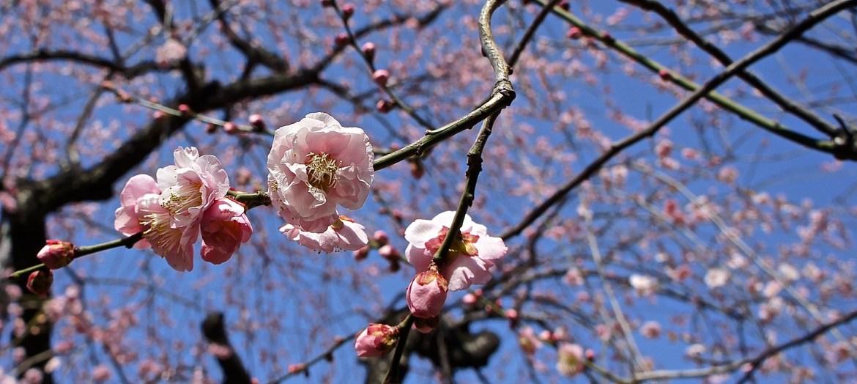 Yushima Tenjin Ume Blossoms