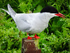 Arctic Tern on a post (2)