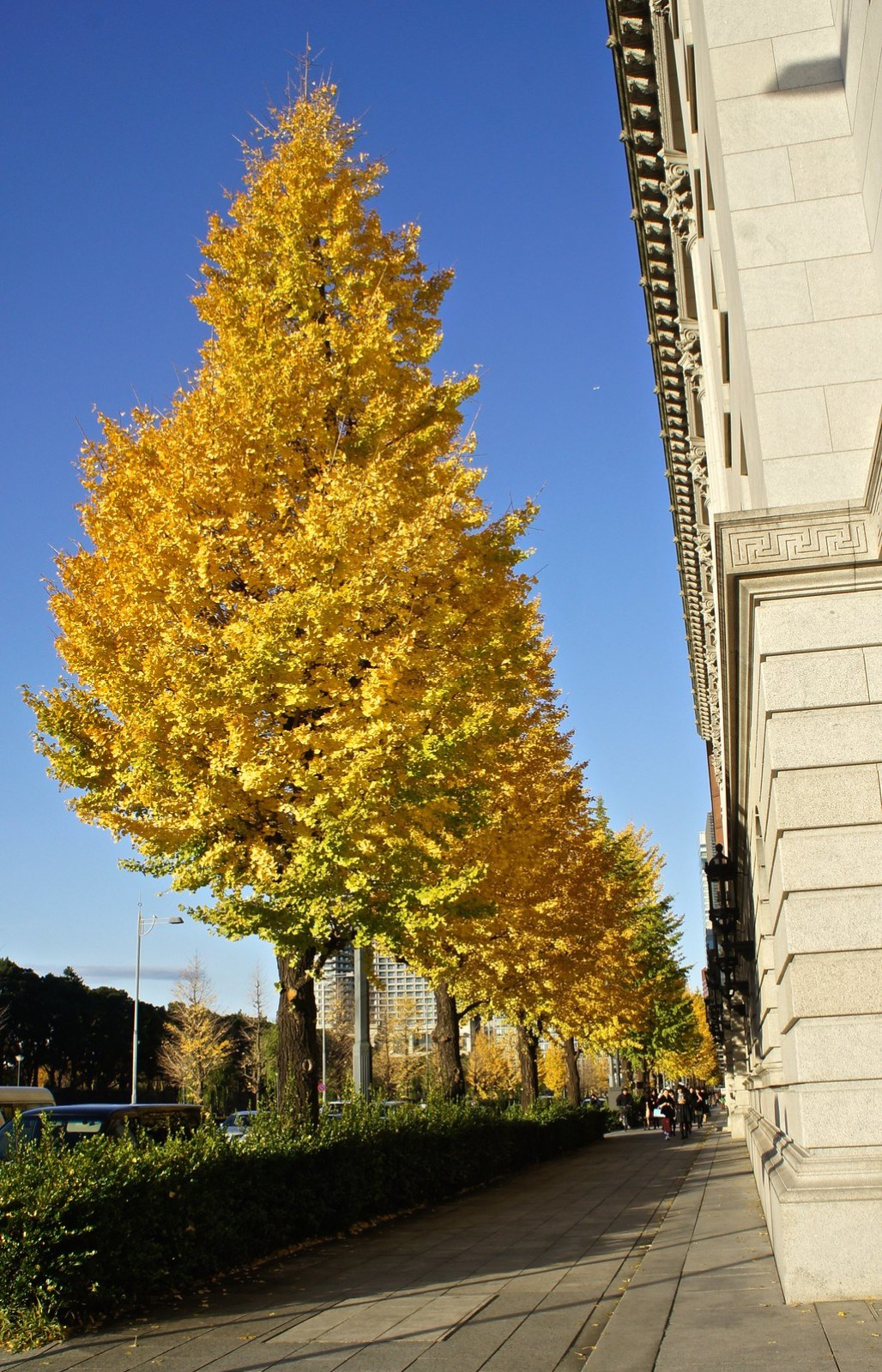 Tokyo Station in background with Ginkgo, Maidenhair color change