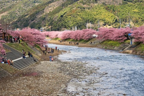Cherry blossoms of Kawazu-cho.
