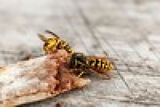Close up of two wasps around a bone or piece of stick