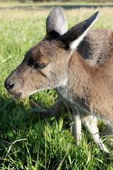 close encounter with Grey Kangaroo